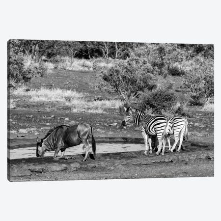 Black Wildebeest and Two Zebras Canvas Print #PHD187} by Philippe Hugonnard Canvas Art