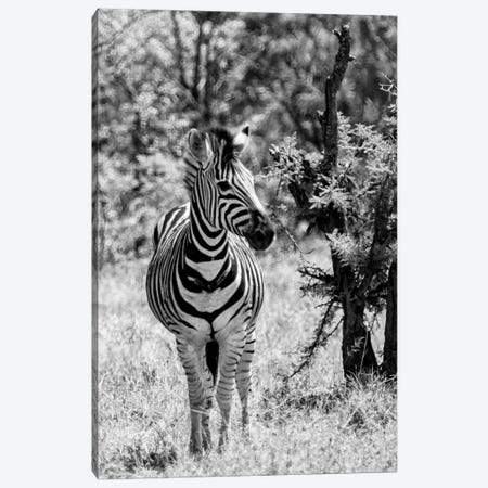 Burchell's Zebra Canvas Print #PHD188} by Philippe Hugonnard Art Print