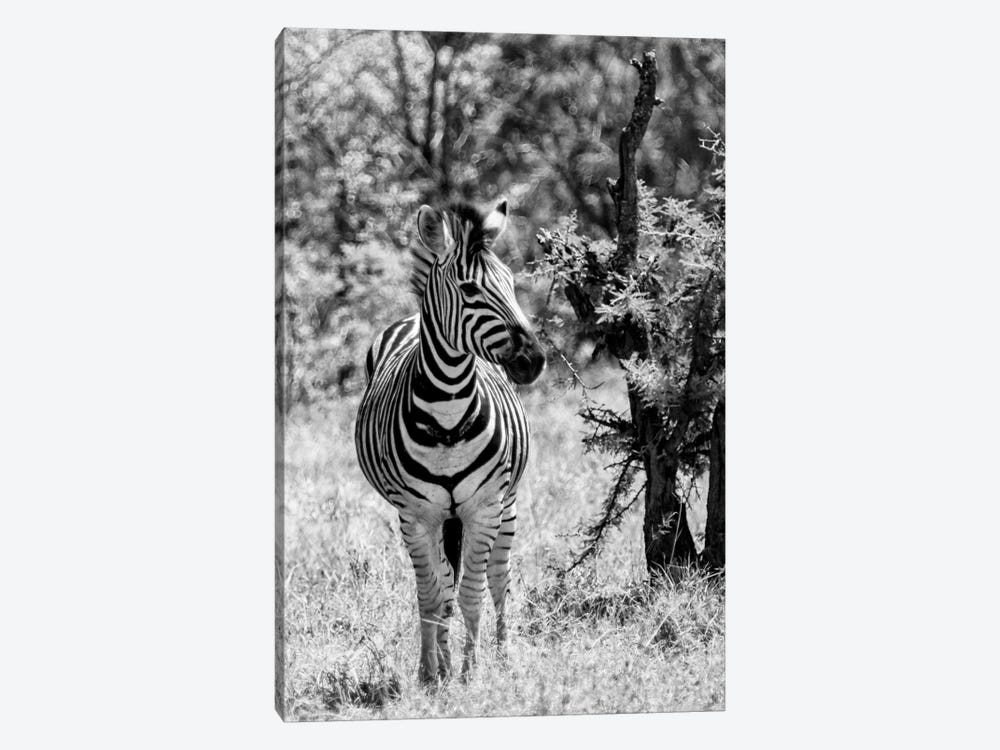 Awesome South Africa Series: Burchell's Zebra by Philippe Hugonnard 1-piece Art Print