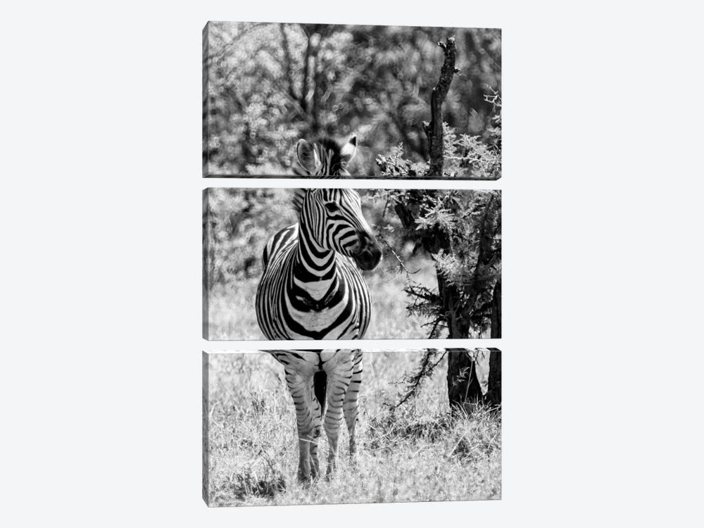 Awesome South Africa Series: Burchell's Zebra by Philippe Hugonnard 3-piece Canvas Art Print