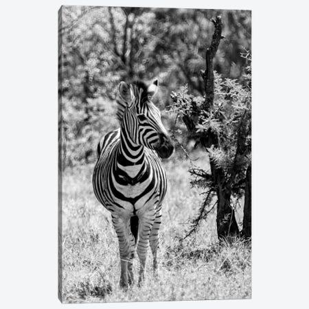 Burchell's Zebra Canvas Print #PHD188} by Philippe Hugonnard Art Print