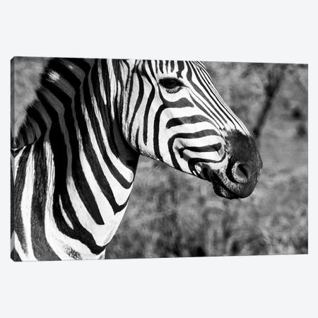 Burchell's Zebra II Canvas Print #PHD189} by Philippe Hugonnard Art Print