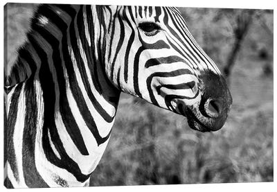 Awesome South Africa Series: Burchell's Zebra II Canvas Art Print