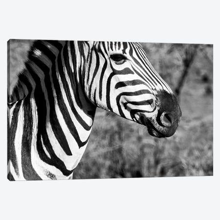 Burchell's Zebra II Canvas Print #PHD189} by Philippe Hugonnard Art Print