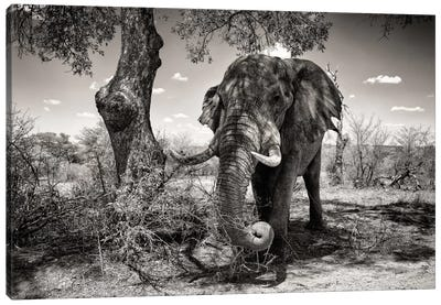 Awesome South Africa Series: Elephant   Canvas Print #PHD194