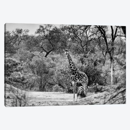 Giraffe and Zebras in the Savanna Canvas Print #PHD197} by Philippe Hugonnard Canvas Art Print