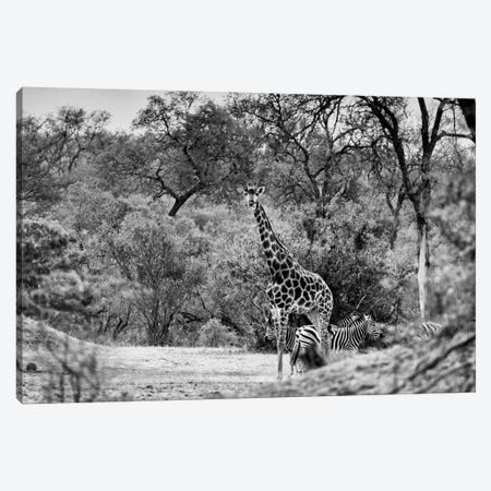 Giraffe and Zebras in the Savanna Canvas Print #PHD197} by Philippe Hugonnard Canvas Art Print