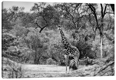 Awesome South Africa Series: Giraffe and Zebras in the Savanna Canvas Print #PHD197