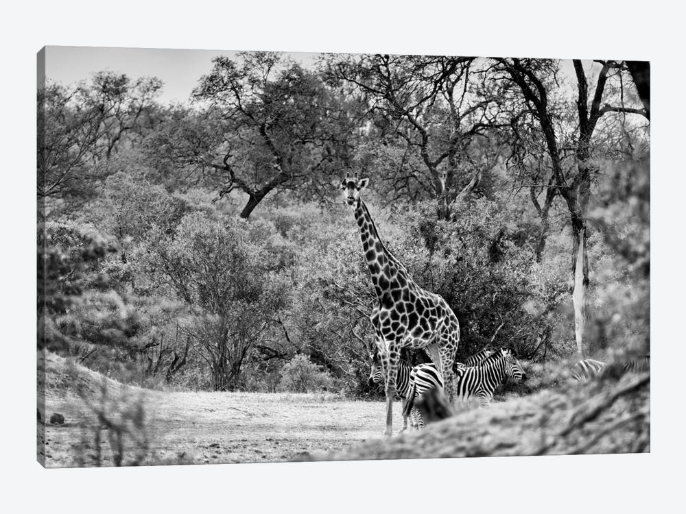 Giraffe and Zebras in the Savanna by Philippe Hugonnard 1-piece Canvas Print