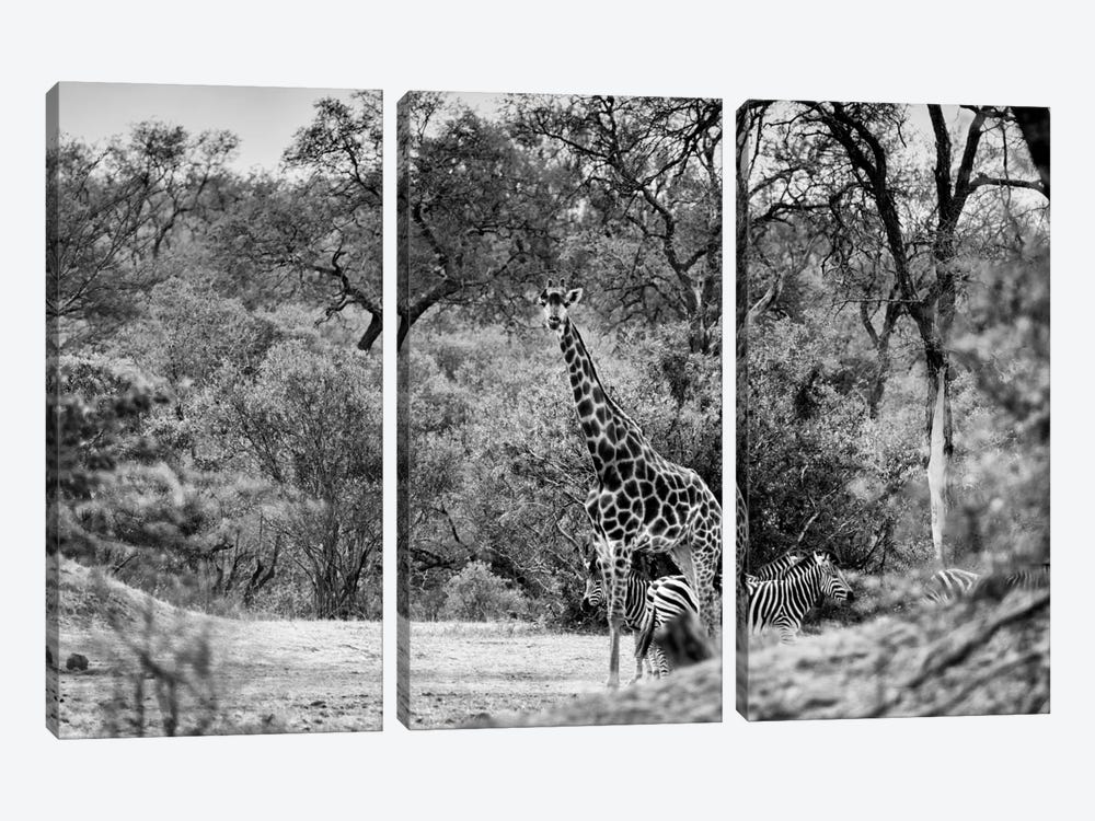 Giraffe and Zebras in the Savanna by Philippe Hugonnard 3-piece Canvas Art Print