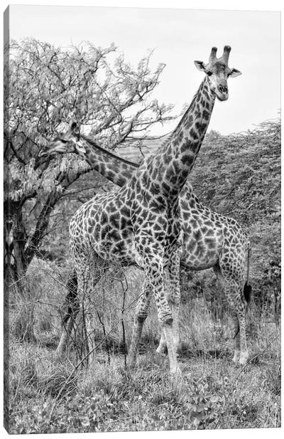 Giraffe Mother and Young  Canvas Art Print