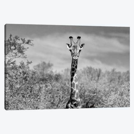 Giraffe Portraits Canvas Print #PHD199} by Philippe Hugonnard Canvas Wall Art