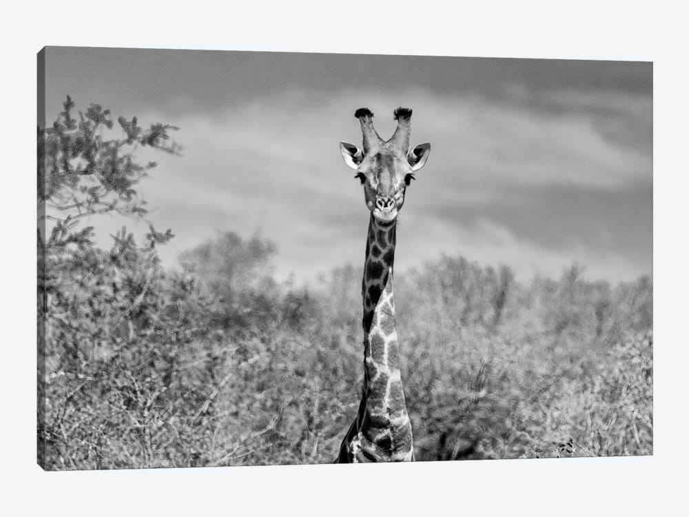 Awesome South Africa Series: Giraffe Portraits by Philippe Hugonnard 1-piece Canvas Print