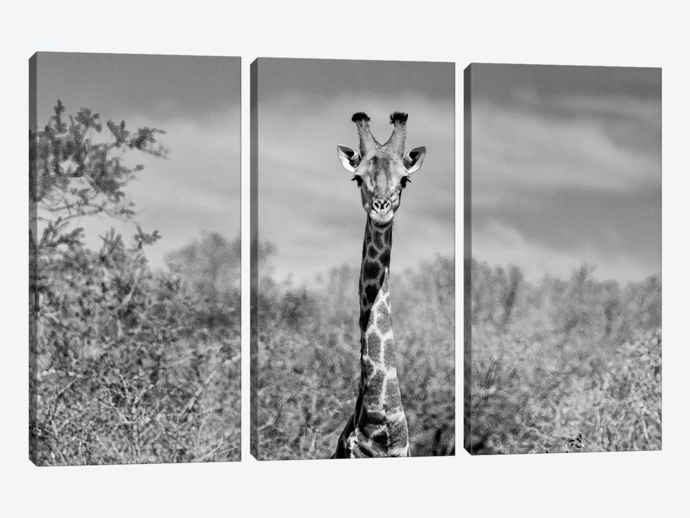 Awesome South Africa Series: Giraffe Portraits by Philippe Hugonnard 3-piece Canvas Art Print