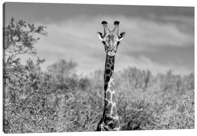 Giraffe Portraits Canvas Art Print