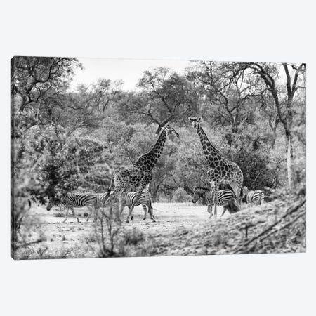 Giraffes and Zebras in the Savanna Canvas Print #PHD200} by Philippe Hugonnard Canvas Wall Art