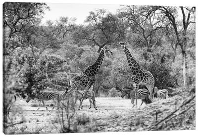 Awesome South Africa Series: Giraffes and Zebras in the Savanna Canvas Print #PHD200