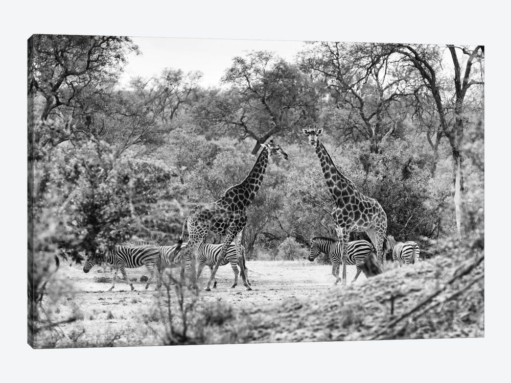 Giraffes and Zebras in the Savanna by Philippe Hugonnard 1-piece Art Print