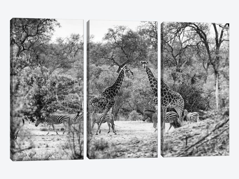 Giraffes and Zebras in the Savanna by Philippe Hugonnard 3-piece Canvas Print