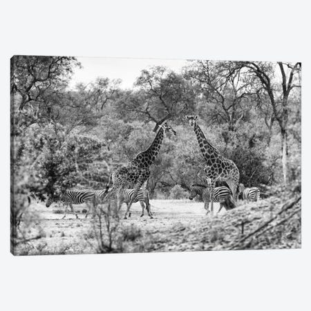Giraffes and Zebras in the Savanna Canvas Print #PHD200} by Philippe Hugonnard Canvas Wall Art