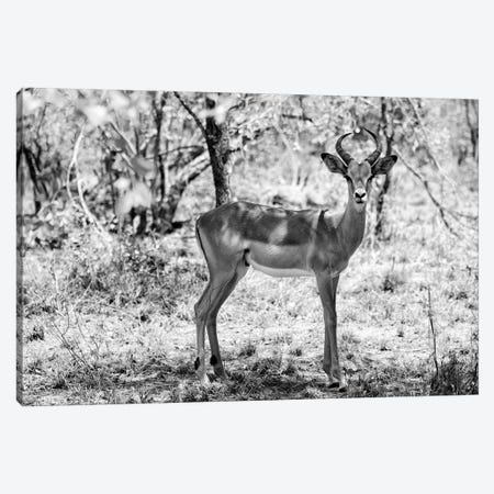 Impala Antelope Portrait Canvas Print #PHD201} by Philippe Hugonnard Canvas Artwork
