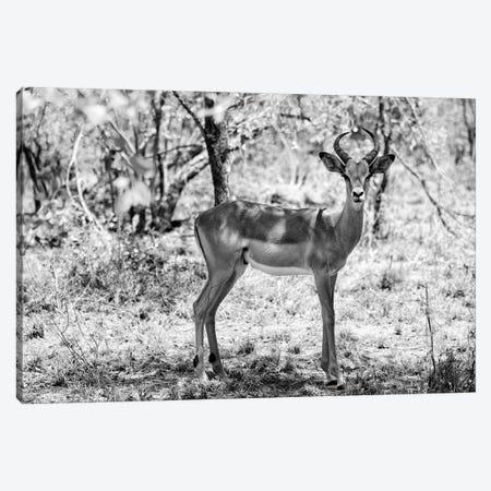 Impala Antelope Portrait Canvas Print #PHD201} by Philippe Hugonnard Canvas Artwork