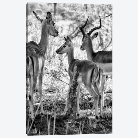 Impalas Family Canvas Print #PHD202} by Philippe Hugonnard Canvas Wall Art