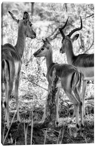 Awesome South Africa Series: Impalas Family Canvas Print #PHD202