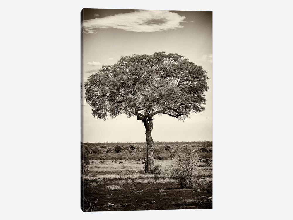 Portrait of an Acacia Tree by Philippe Hugonnard 1-piece Canvas Art Print