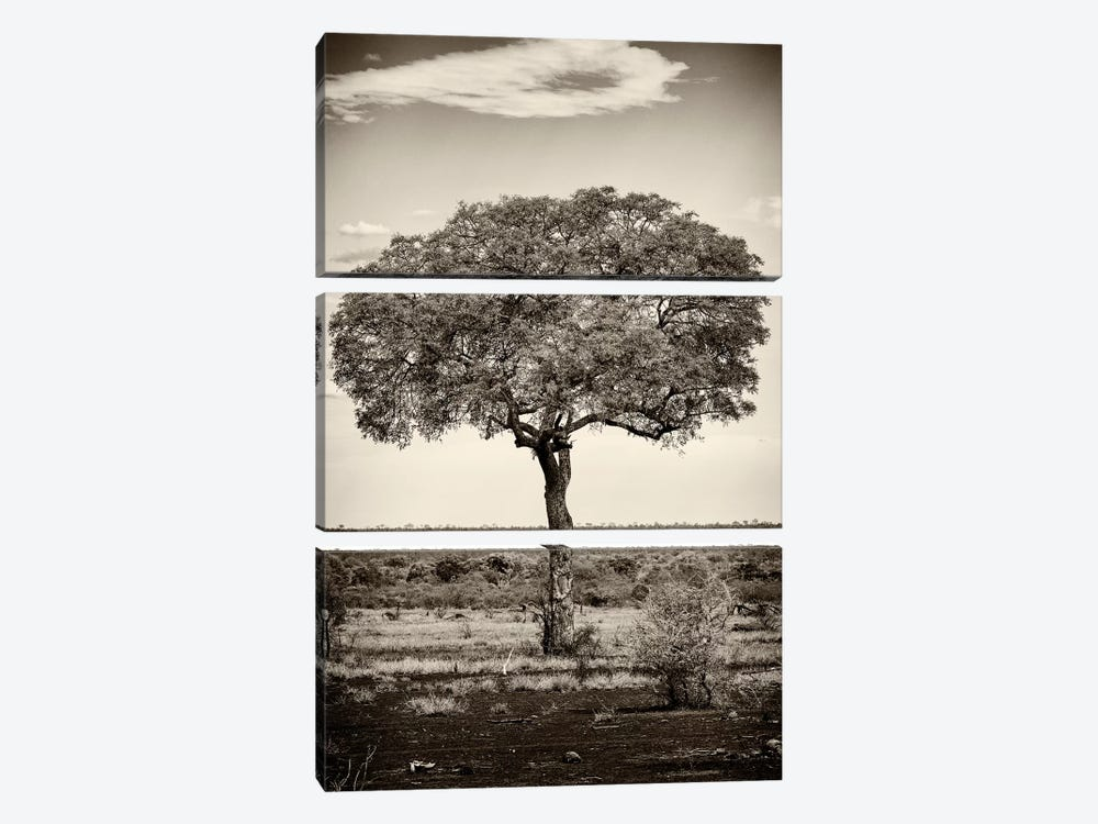 Portrait of an Acacia Tree by Philippe Hugonnard 3-piece Art Print