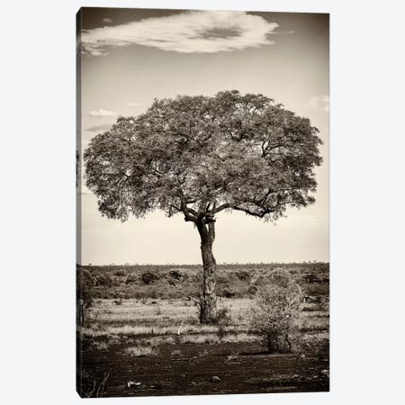 Portrait of an Acacia Tree 3-Piece Canvas #PHD206} by Philippe Hugonnard Canvas Print