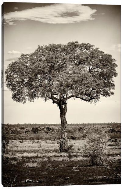 Portrait of an Acacia Tree Canvas Art Print