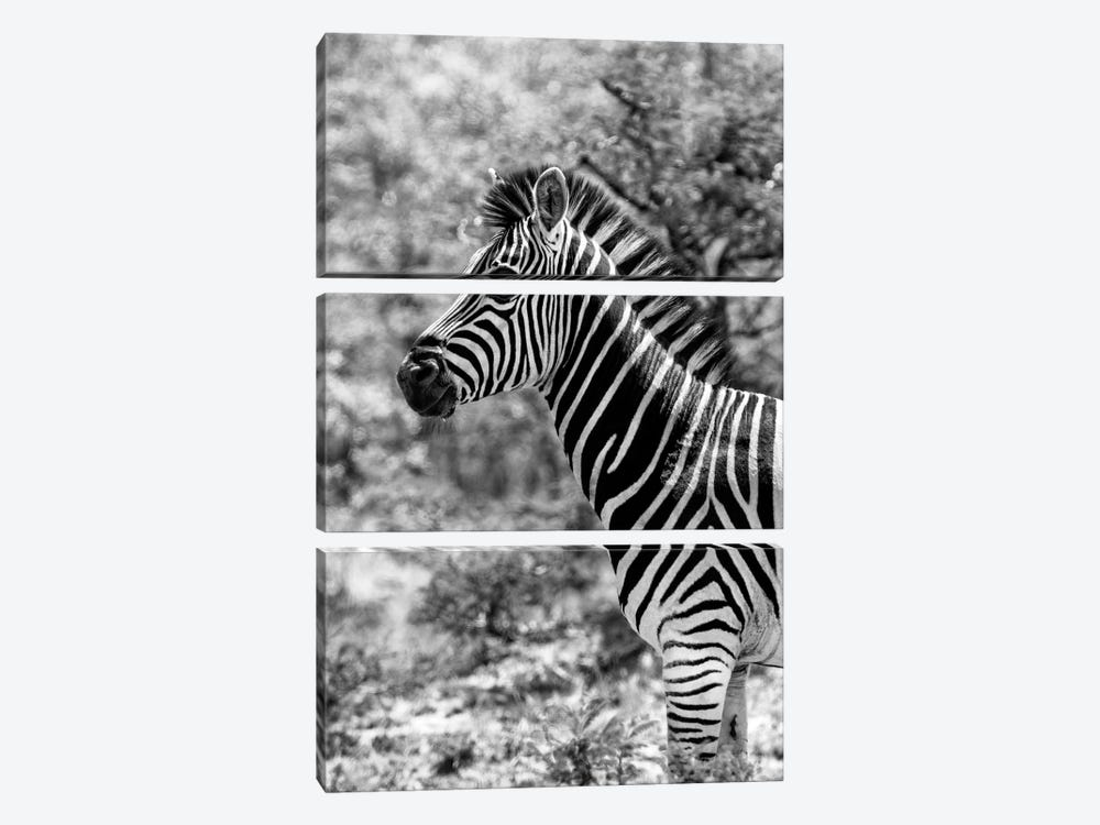 Awesome South Africa Series: Portrait of Burchell's Zebra 3-piece Canvas Art