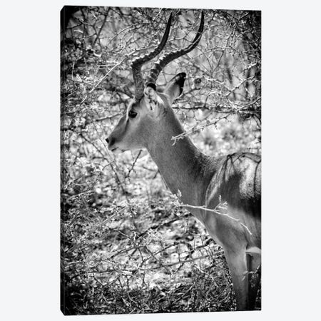 Portrait of Impala Canvas Print #PHD208} by Philippe Hugonnard Canvas Artwork