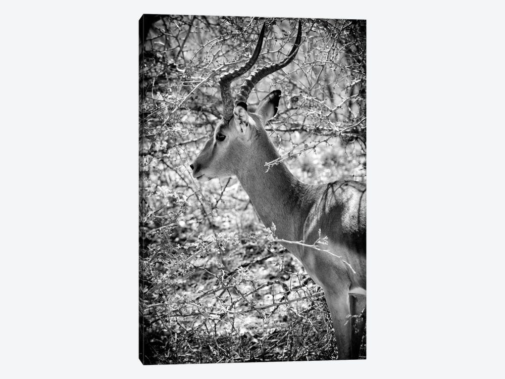Awesome South Africa Series: Portrait of Impala by Philippe Hugonnard 1-piece Canvas Art Print