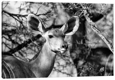 Awesome South Africa Series: Portrait of Nyala Antelope Canvas Print #PHD209