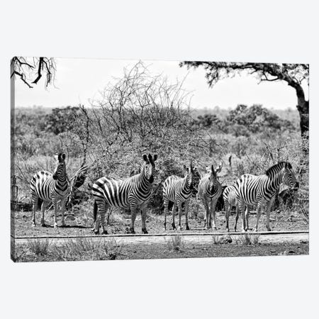 Six Zebras on Savanna Canvas Print #PHD212} by Philippe Hugonnard Art Print