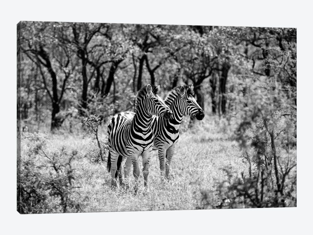 Two Zebras by Philippe Hugonnard 1-piece Canvas Print
