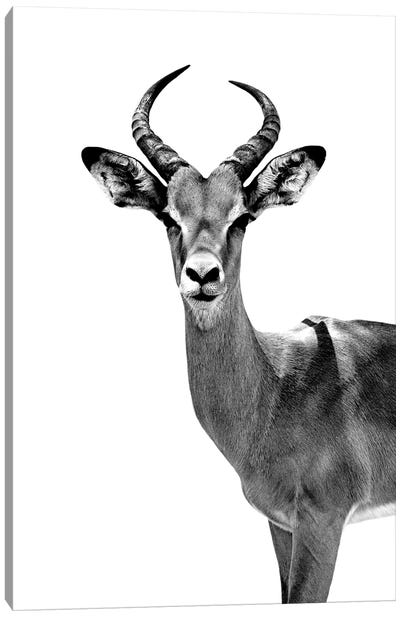 Safari Profile Series: Antelope White Edition Canvas Art Print