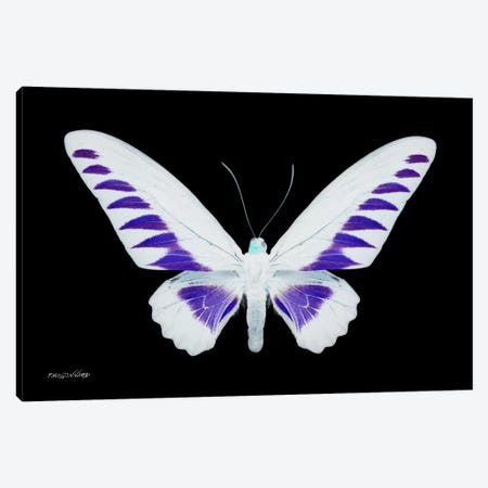 Miss Butterfly Brookiana X-Ray (Black Edition) Canvas Print #PHD300} by Philippe Hugonnard Canvas Art Print
