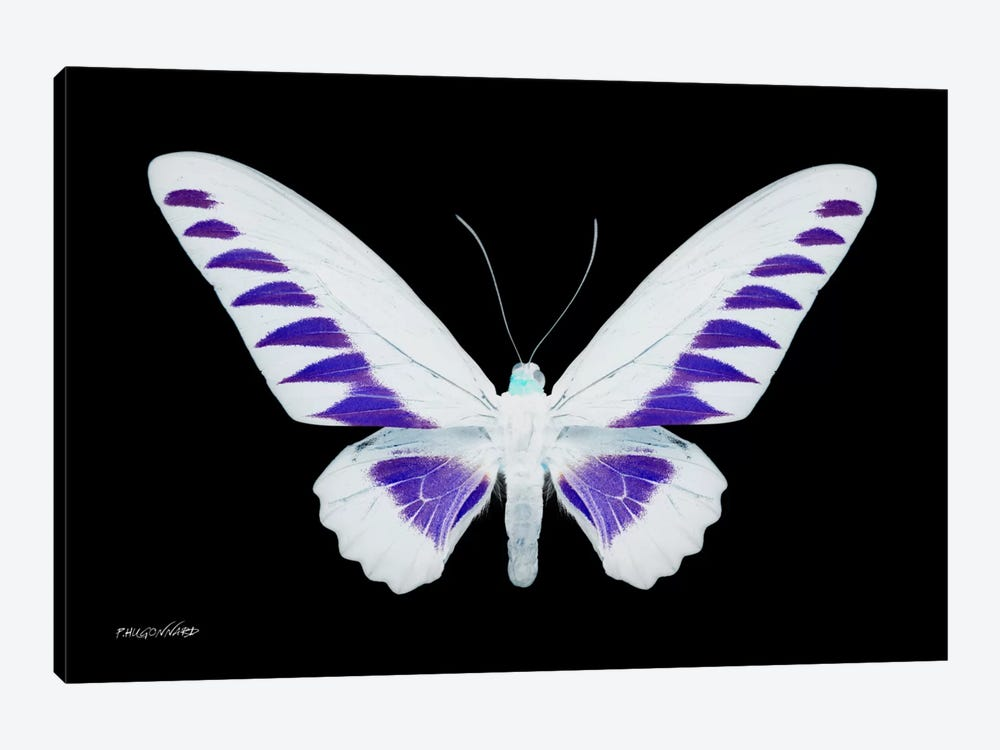 Miss Butterfly Brookiana X-Ray (Black Edition) by Philippe Hugonnard 1-piece Canvas Wall Art