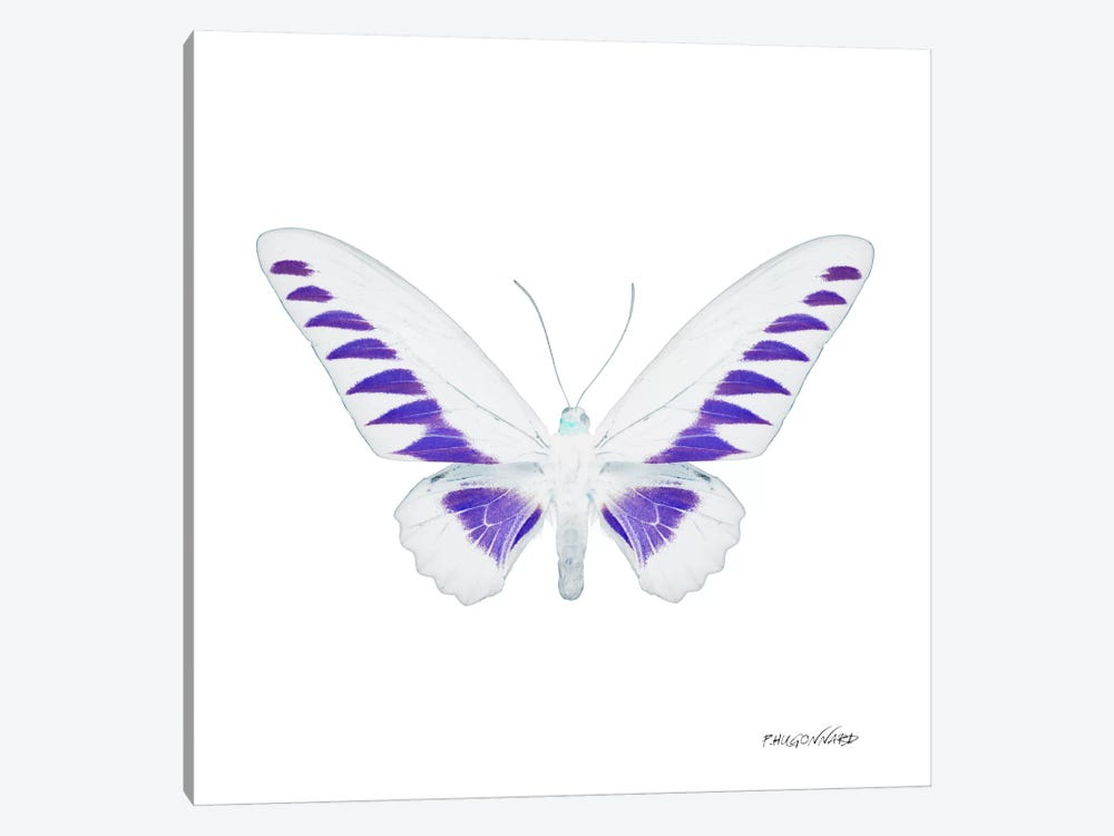 Miss Butterfly Brookiana X-Ray (White Edition) 1-piece Canvas Art Print