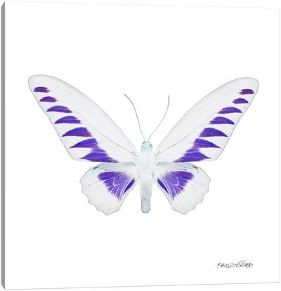 Miss Butterfly Brookiana X-Ray (White Edition) Canvas Art Print