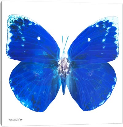 Miss Butterfly Catopsilia X-Ray (White Edition) Canvas Art Print