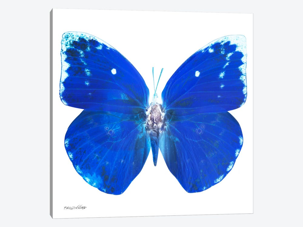 Miss Butterfly Catopsilia X-Ray (White Edition) by Philippe Hugonnard 1-piece Canvas Art