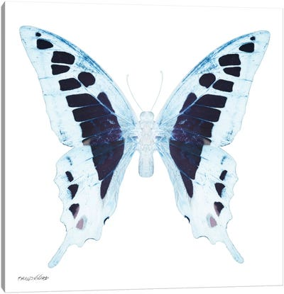 Miss Butterfly Cloanthus X-Ray (White Edition) Canvas Art Print