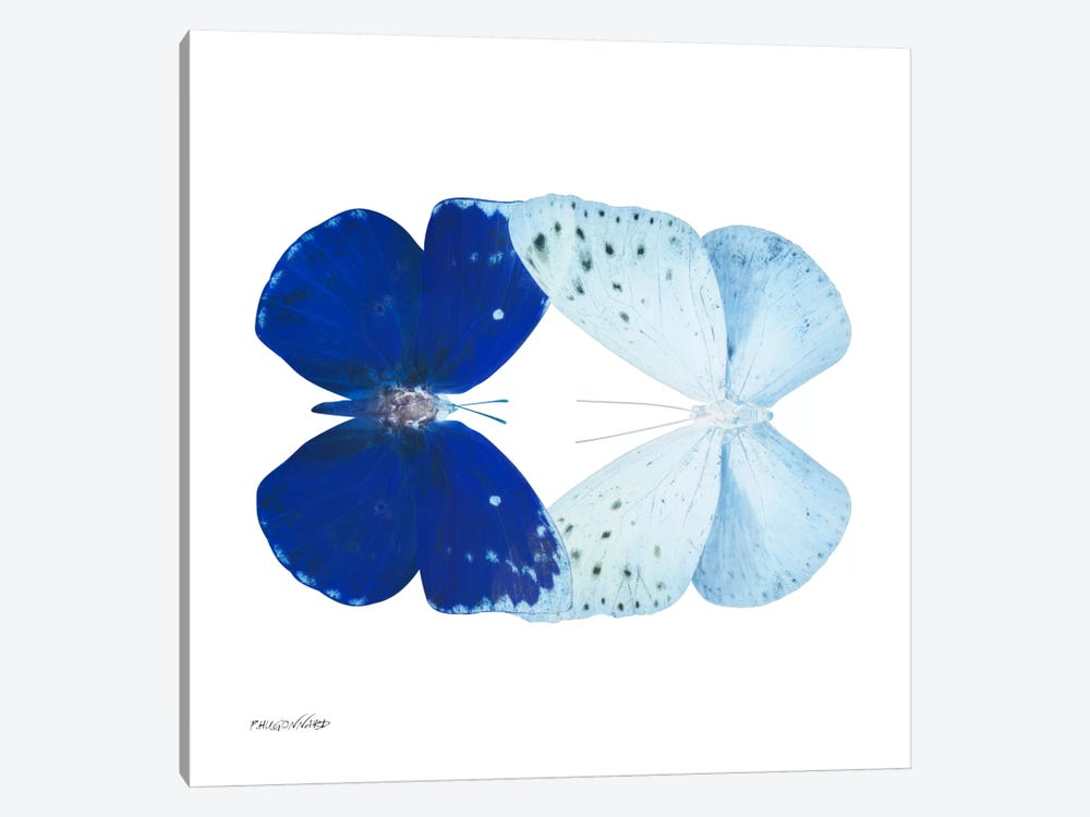 Miss Butterfly Catoploea Duo X-Ray (White Edition) by Philippe Hugonnard 1-piece Canvas Artwork