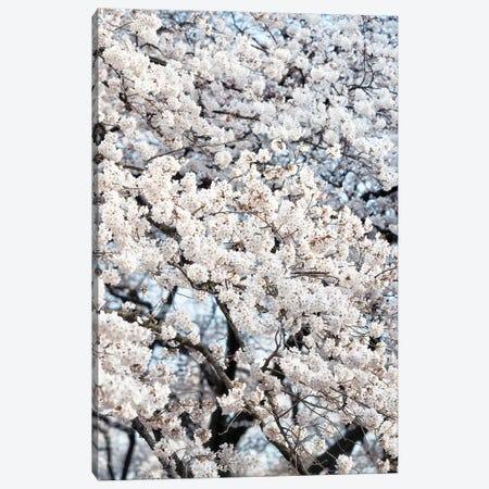 Sakura Cherry Blossoms Canvas Print #PHD829} by Philippe Hugonnard Canvas Artwork