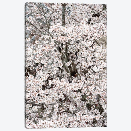 Cherry Blossoms Sakura Canvas Print #PHD864} by Philippe Hugonnard Art Print