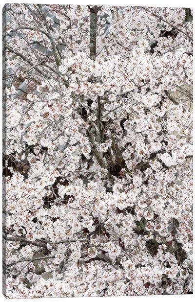 Cherry Blossoms Sakura Canvas Art Print